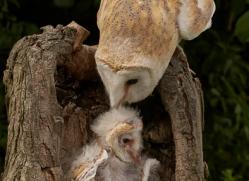 barn-owl-copyright-photographers-on-safari-com-8475