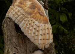 barn-owl-copyright-photographers-on-safari-com-8476