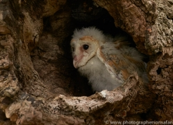 barn-owl-copyright-photographers-on-safari-com-8478