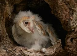 barn-owl-copyright-photographers-on-safari-com-8479