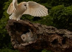 barn-owl-copyright-photographers-on-safari-com-8480
