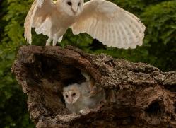barn-owl-copyright-photographers-on-safari-com-8481