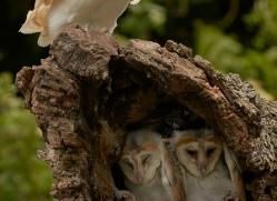 barn-owl-copyright-photographers-on-safari-com-8482