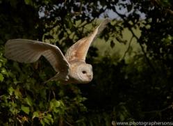 barn-owl-copyright-photographers-on-safari-com-8483