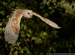 barn-owl-copyright-photographers-on-safari-com-8484