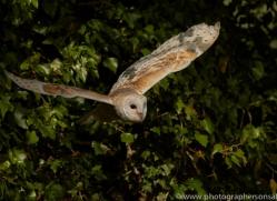 barn-owl-copyright-photographers-on-safari-com-8485