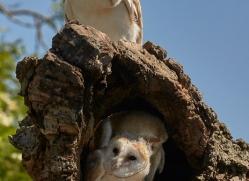 barn-owl-copyright-photographers-on-safari-com-8486