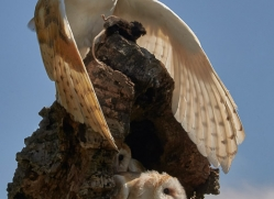 barn-owl-copyright-photographers-on-safari-com-8487
