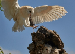 barn-owl-copyright-photographers-on-safari-com-8488