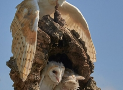 barn-owl-copyright-photographers-on-safari-com-8489