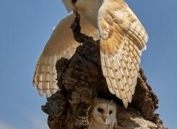 barn-owl-copyright-photographers-on-safari-com-8490