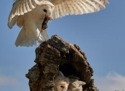 barn-owl-copyright-photographers-on-safari-com-8491
