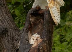 barn-owl-copyright-photographers-on-safari-com-8492