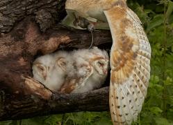 barn-owl-copyright-photographers-on-safari-com-8493