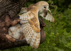 barn-owl-copyright-photographers-on-safari-com-8494