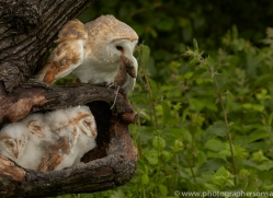 barn-owl-copyright-photographers-on-safari-com-8495