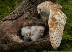barn-owl-copyright-photographers-on-safari-com-8498