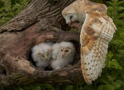 barn-owl-copyright-photographers-on-safari-com-8500