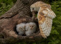 barn-owl-copyright-photographers-on-safari-com-8501