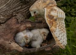 barn-owl-copyright-photographers-on-safari-com-8502