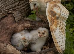 barn-owl-copyright-photographers-on-safari-com-8503