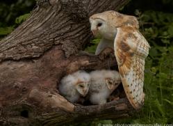 barn-owl-copyright-photographers-on-safari-com-8504