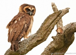 brown-wood-owl-4182-northumberland-copyright-photographers-on-safari-com