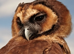brown-wood-owl-4184-northumberland-copyright-photographers-on-safari-com