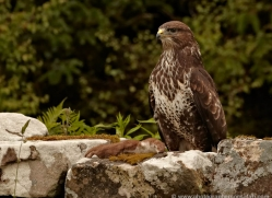 buzzard-4119-northumberland-copyright-photographers-on-safari-com