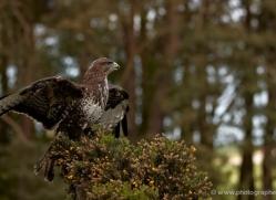 buzzard-4124-northumberland-copyright-photographers-on-safari-com