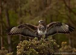 buzzard-4125-northumberland-copyright-photographers-on-safari-com