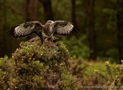 buzzard-4127-northumberland-copyright-photographers-on-safari-com