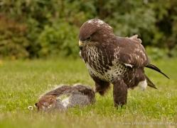 buzzard-4129-northumberland-copyright-photographers-on-safari-com