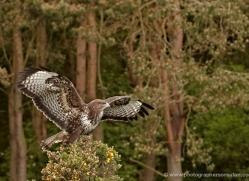 buzzard-4131-northumberland-copyright-photographers-on-safari-com