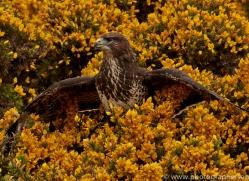 common-buzzard-copyright-photographers-on-safari-com-8506