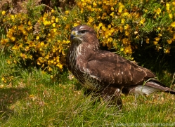 common-buzzard-copyright-photographers-on-safari-com-8507