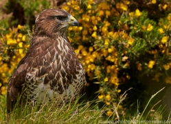 common-buzzard-copyright-photographers-on-safari-com-8508