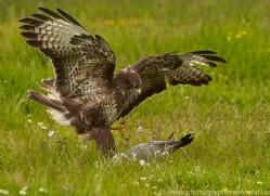 common-buzzard-copyright-photographers-on-safari-com-8509