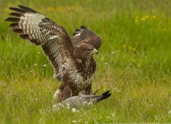 common-buzzard-copyright-photographers-on-safari-com-8510