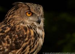 eagle-owl-copyright-photographers-on-safari-com-8512