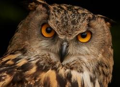 eagle-owl-copyright-photographers-on-safari-com-8513