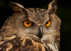 eagle-owl-copyright-photographers-on-safari-com-8514