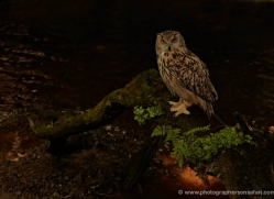 european-eagle-owl-4099-northumberland-copyright-photographers-on-safari-com