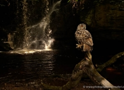 european-eagle-owl-4101-northumberland-copyright-photographers-on-safari-com