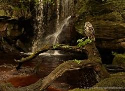 european-eagle-owl-4105-northumberland-copyright-photographers-on-safari-com