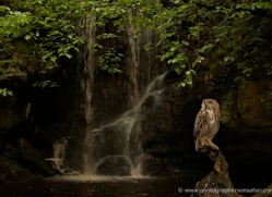 european-eagle-owl-4108-northumberland-copyright-photographers-on-safari-com