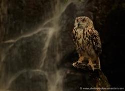 european-eagle-owl-4109-northumberland-copyright-photographers-on-safari-com
