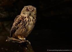 european-eagle-owl-4111-northumberland-copyright-photographers-on-safari-com