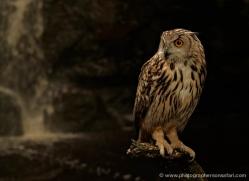 european-eagle-owl-4112-northumberland-copyright-photographers-on-safari-com