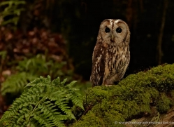 european-eagle-owl-4113-northumberland-copyright-photographers-on-safari-com